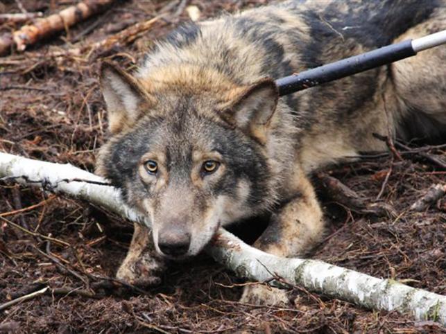 Wilk spędził kilka dni we wnykach z drutu, zanim w ostatniej chwili uratowali go leśnicy