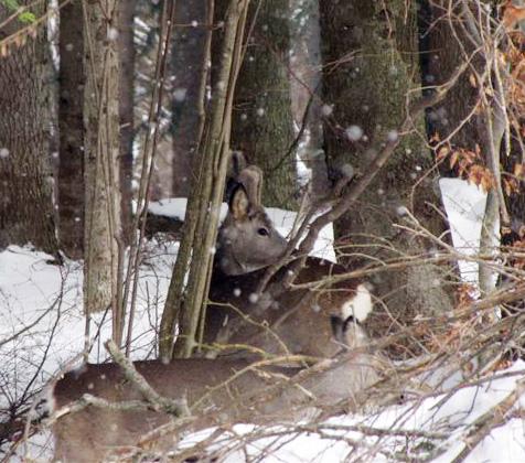 Przerażone jelenie