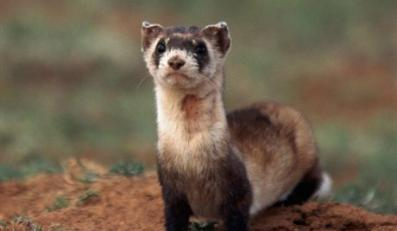 April 1997, Arizona, USA --- Black-Footed Ferret Standing on Mound --- Image by © D. Robert & Lorri Franz/CORBIS