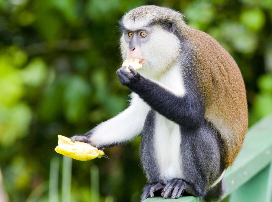 W Afryce nie spaceruj z... bananem w ręku
