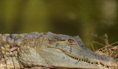 Filipińczycy polują na kolejnego krokodyla olbrzyma