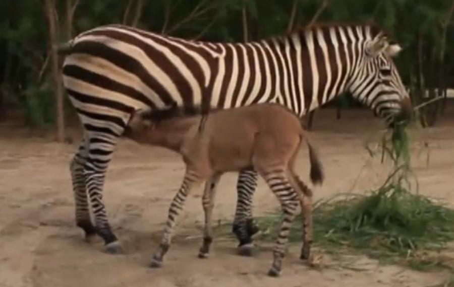 Zebryna w meksykańskim Zoo