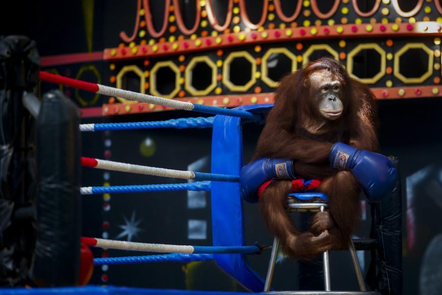 Orangutan w rękawicach bokserskich