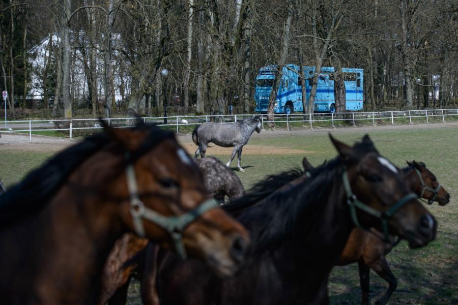 Przygotowanie do wywózki koni