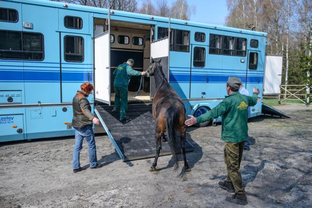 Shirley Watts wywozi konie